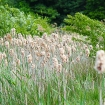 Reedmace in seed