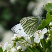 Green veined white butterfly on hawthorn