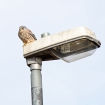 Kestrel on a lamp post