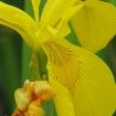 Flag iris