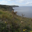 carline-thistle-on-cliff