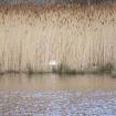 Swans Nest