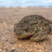 mobile_highly commended _beach_toad_tracey_laing18