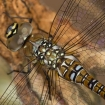 nature_up_close_1_-_migrant_hawker_dragonfly_marcus_kidd2
