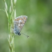 nature_up_close_2_-_common_blue_peter_maguire_3