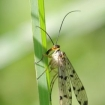 nature_up_close_3_-_female_scorpion_fly_gordon_porteous4