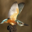 wildlife_in_action_2_-_kingfisher_mark_fullerton6