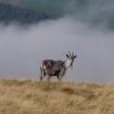 wildlife_in_the_landscape_2_-_north_cheviot_feral_goat_nicholas_valori_9