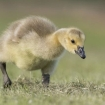 wildlife_portrait_1_-_canada_gosling_matthew_smith_011