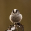 wildlife_portrait_2_-_longtail_tit_keith_cochrane_012