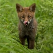 wildlife_portrait_3_-_fox_cub_mark_bowen_013