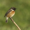 young_persons_1_-_male_stonechat_kyra_leigh_sudlow_1414