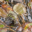 Common hawker dragonfly laying eggs