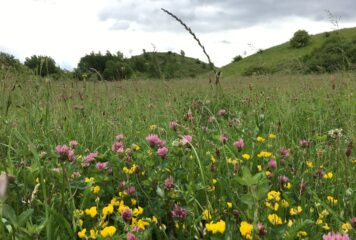 Photo of Maze Park across the meadow towards the feature mounds. Bird's-foot trefoil and red clover are visible in the foreground.