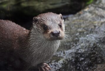 An otter pictured on rocks having just emerged from the water