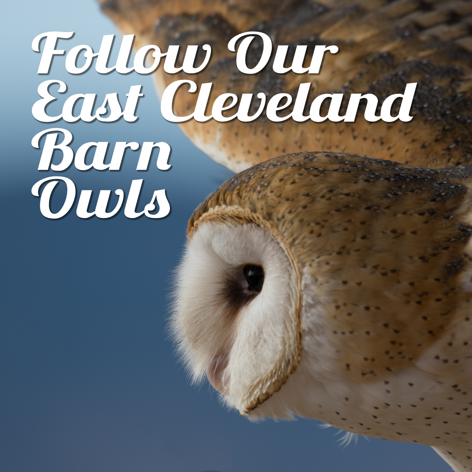 East Cleveland's barn owls are on the up!