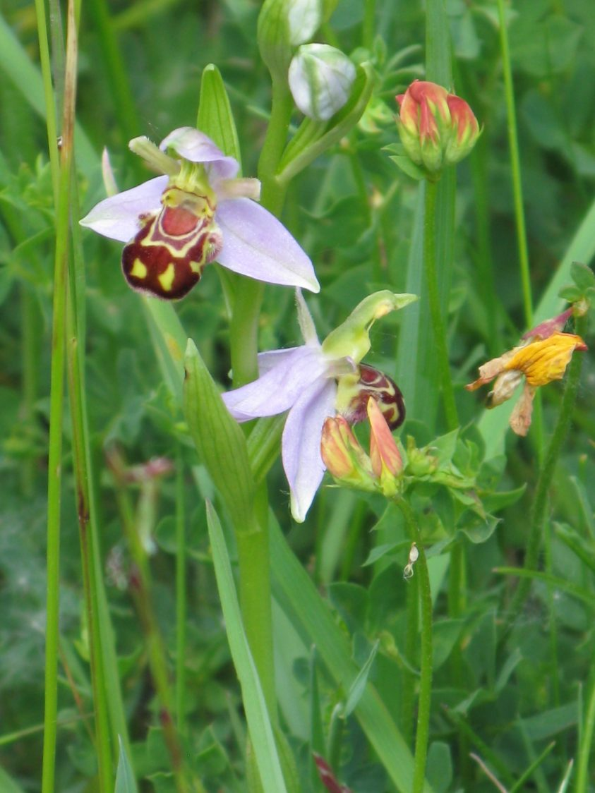 Close-up photo of bee orchids.