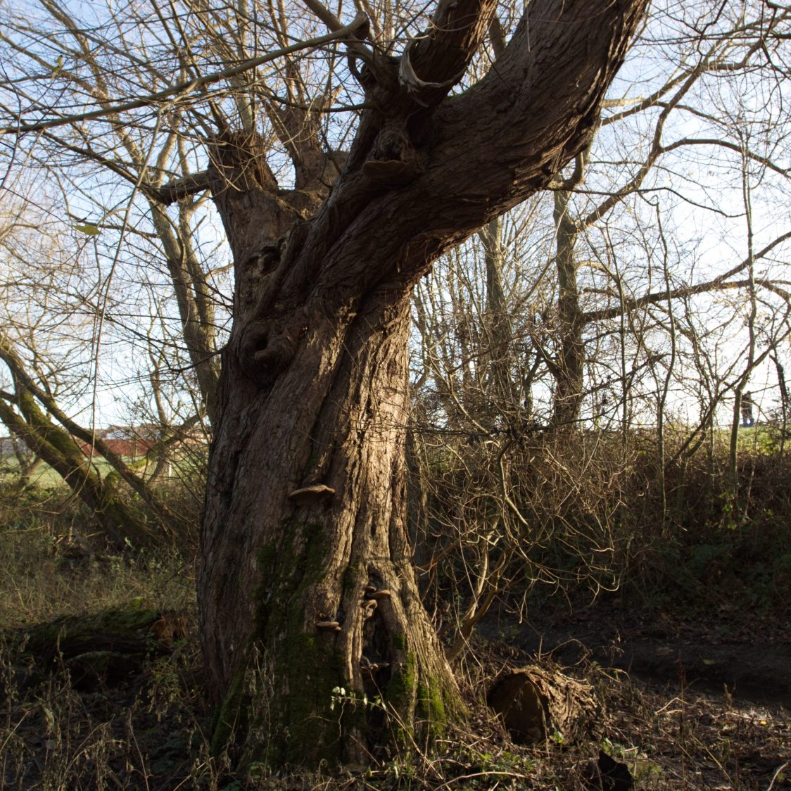 A great old willow grows twisting out of the earth.