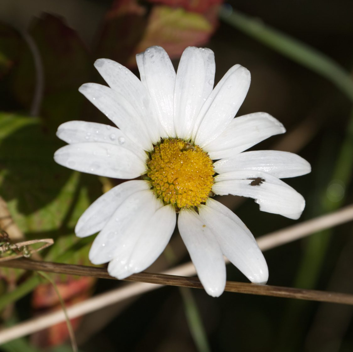A close-ip image of an oxeye daisy. 16 long white petals arranged around a cluster of yellow florets forming a a mounded disc at the centre.