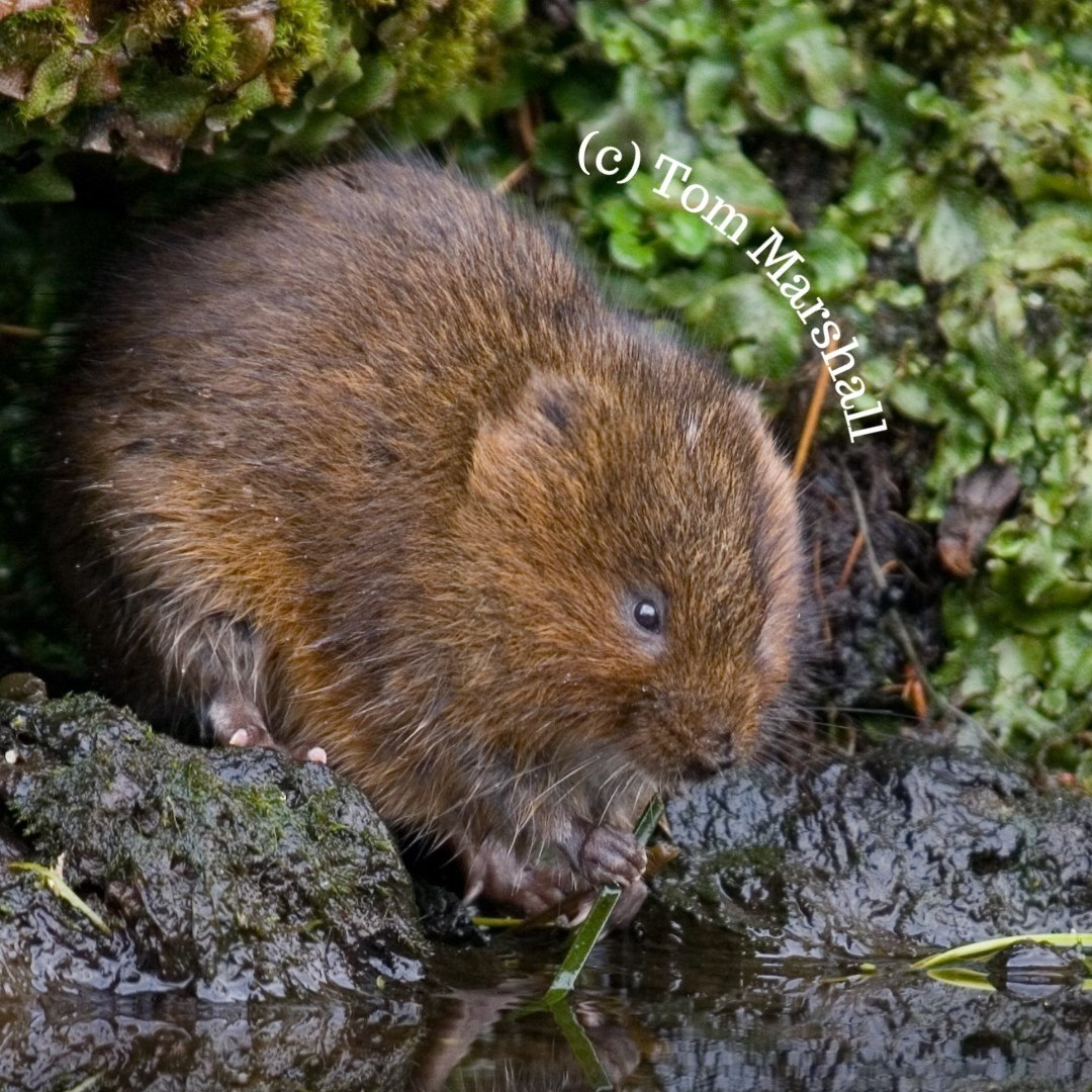 Water vole feeding on grass