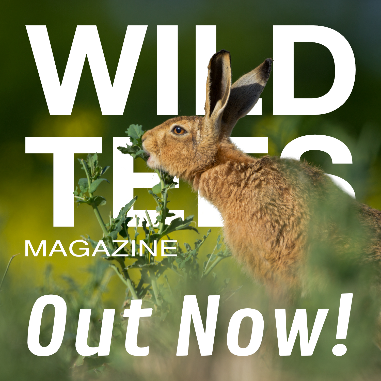 A hare nibbling on green leaves in a field. Text says Wild Tees Magazine - Out Now!