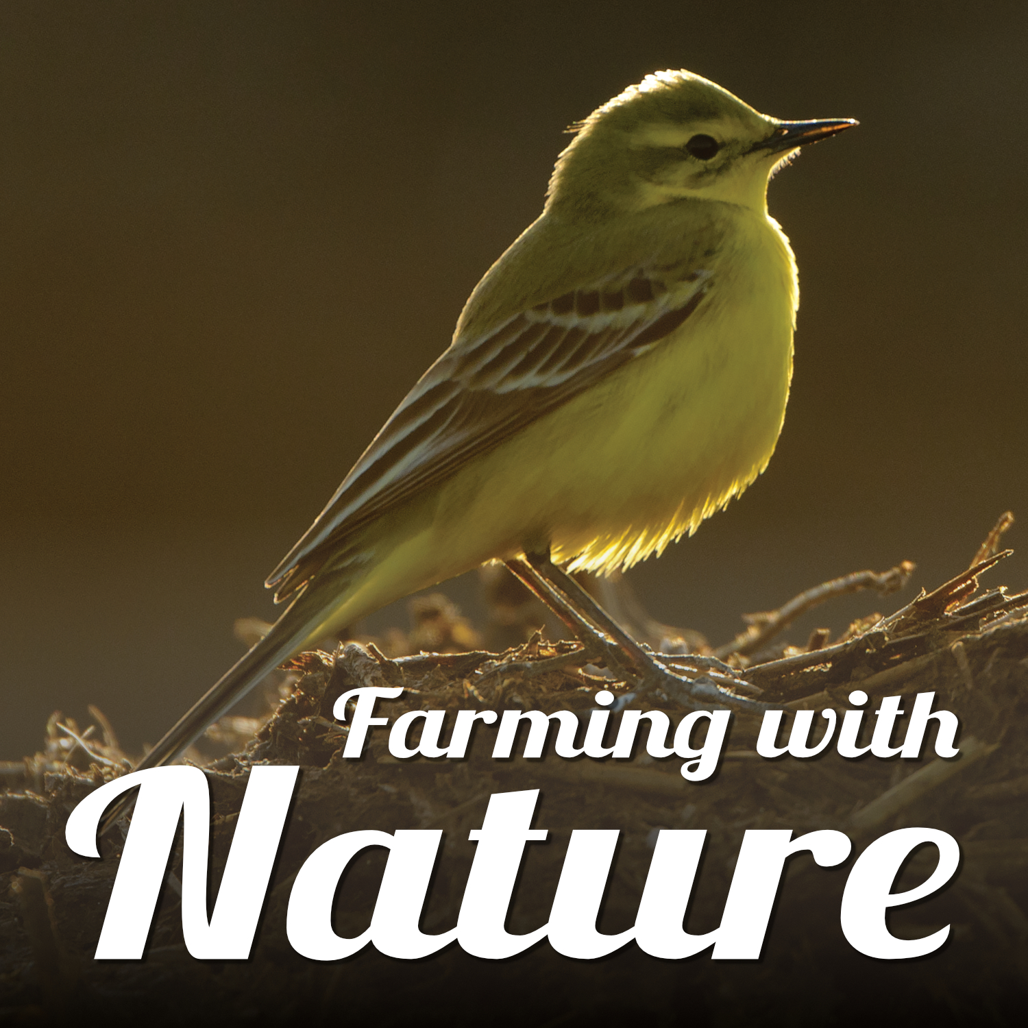 A yellow wagtail standing in a field amongst corn stubble. Text reads 'Farming with Nature'.