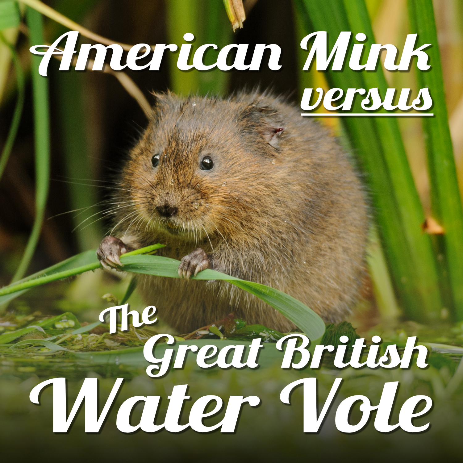 A plump brown water vole sits at the waters edge chewing on a leaf. The text reads 'American Mink versus the Great British water vole'.