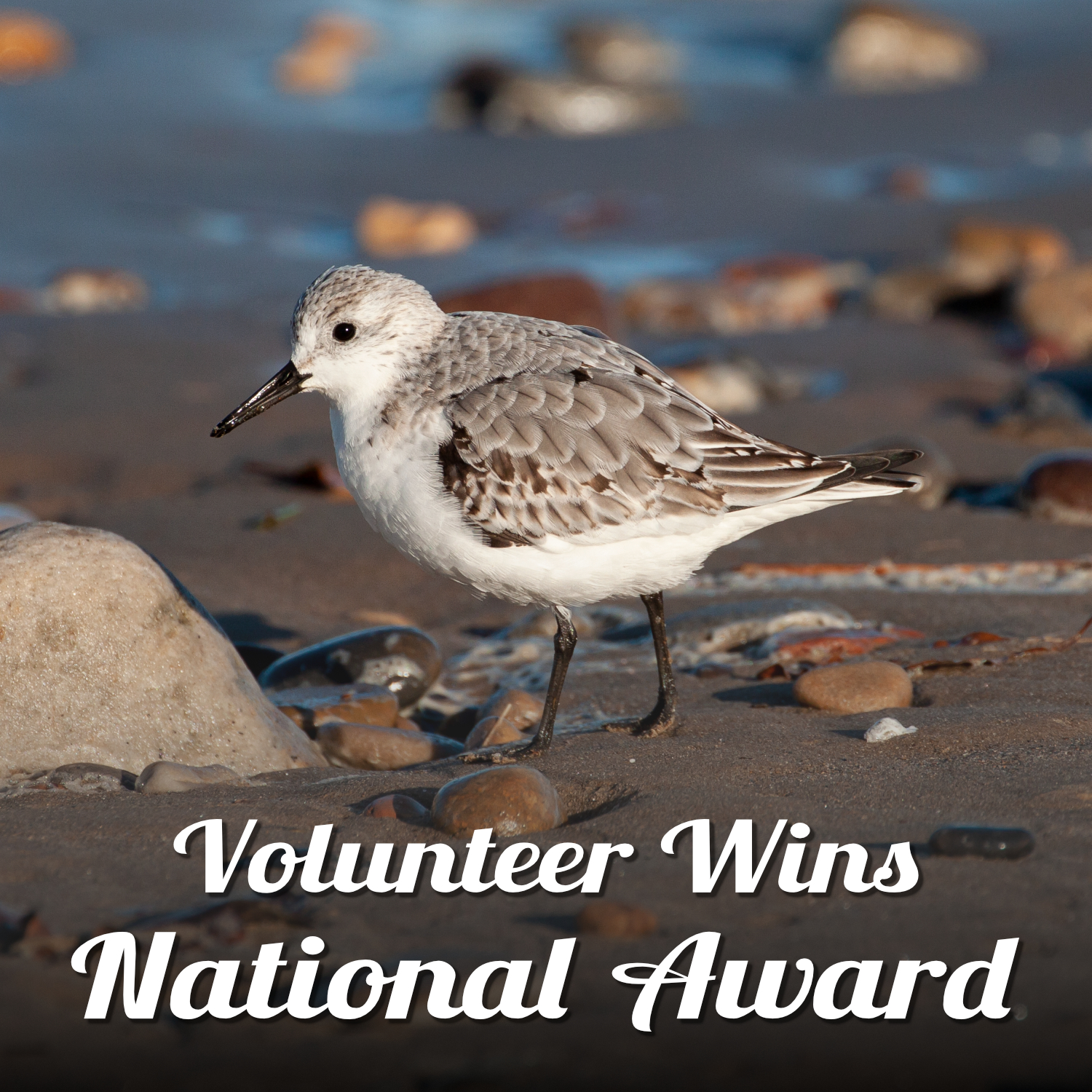 Photo of a sanderling, in winter white and grey plumage, on a sandy foreshore with wet pebbles and larger stones. Text reads 'Volunteer Wins National Award'.